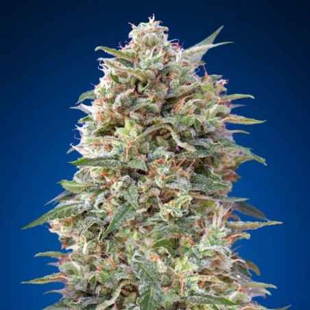 California Kush (00 Seeds)