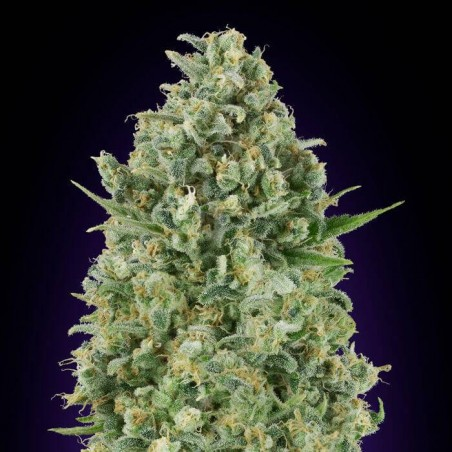 Critical Poison (00 Seeds)