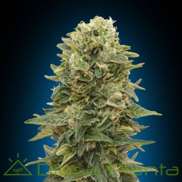Female Mix (00 Seeds)