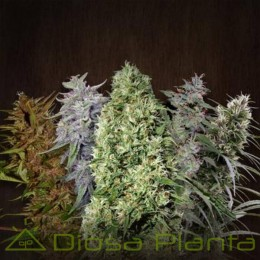 ACE Mix Standard (Ace Seeds)