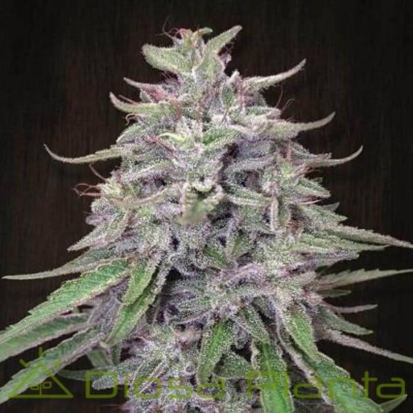 Bangi Haze Standard (Ace Seeds)