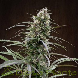 Congo Regular (Ace Seeds)