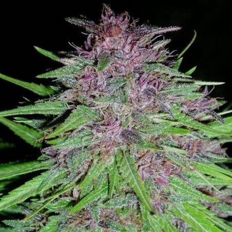 ErdPurt Regular (Ace Seeds)