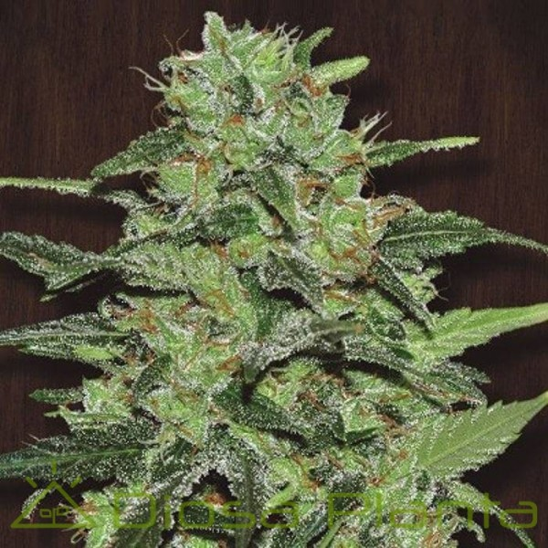 Malawi Regular (Ace Seeds)