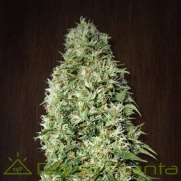 Orient Express Regular (Ace Seeds)