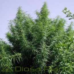 Tropical Mix Regular (Ace Seeds)
