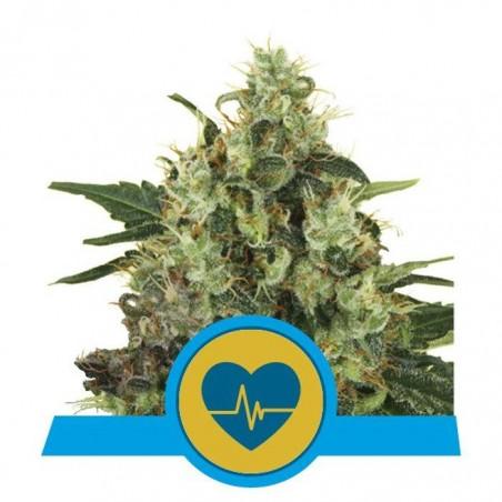 Medical Mass (Royal Queen Seeds)