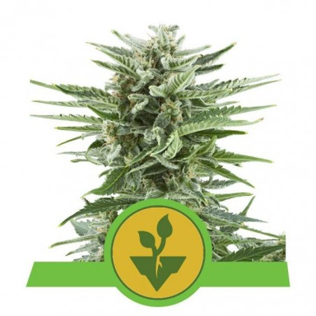 Easy Bud (Royal Queen Seeds)