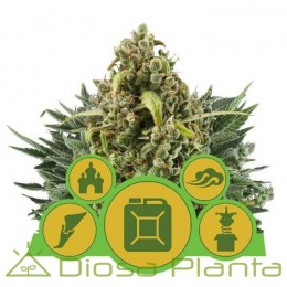 Mix Autoflorecientes (Royal Queen Seeds)