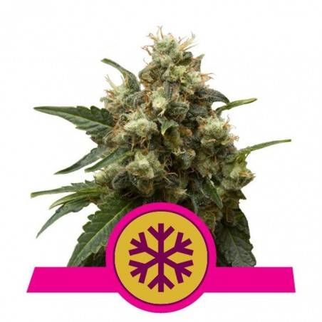 Ice (Royal Queen Seeds)