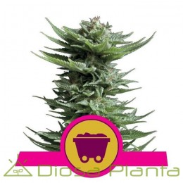 Shining Silver Haze (Royal Queen Seeds)