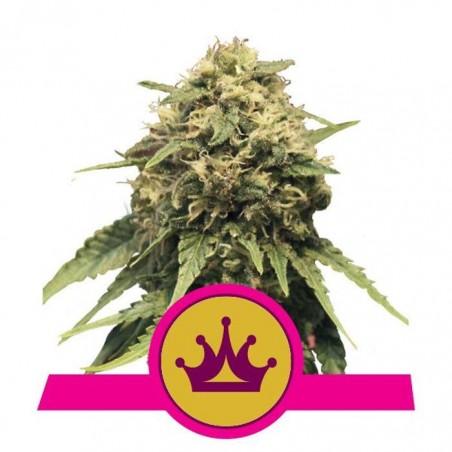 Special Queen 1 (Royal Queen Seeds)