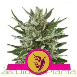 Speedy Chile - Fast Flowering (Royal Queen Seeds)