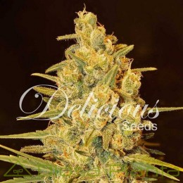 Critical Sensi Star (Delicious Seeds)