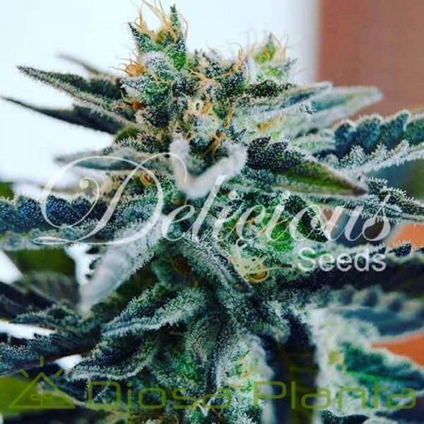 Sugar Black Rose (Delicious Seeds)