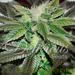 Sugar Candy (Delicious Seeds)