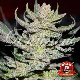 Desconocida Kush Regular (Delicious Seeds)