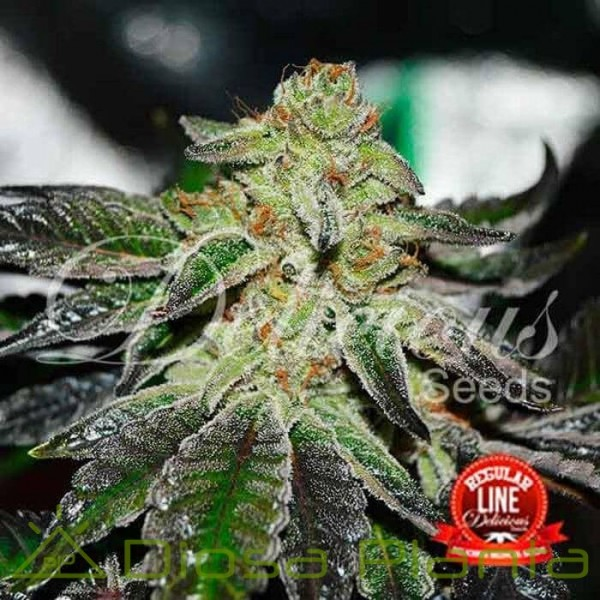 Original Juan Herer Regular (Delicious Seeds)