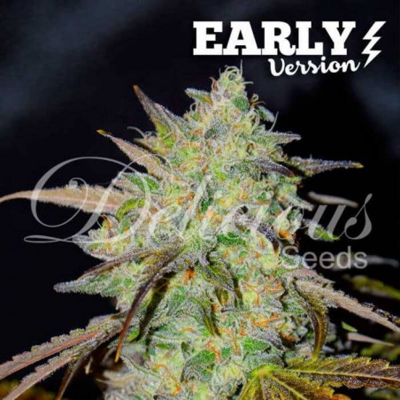 Marmalate F1 (Delicious Seeds)