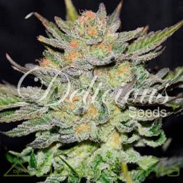 Auto Blue Ace CBD (Delicious Seeds)