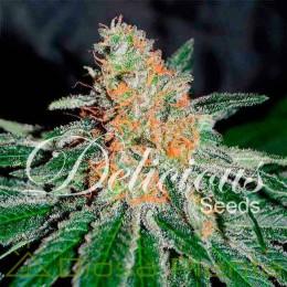 CBD Jam (Delicious Seeds)