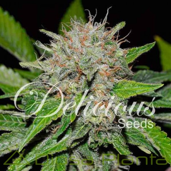 Deep Mandarine (Delicious Seeds)