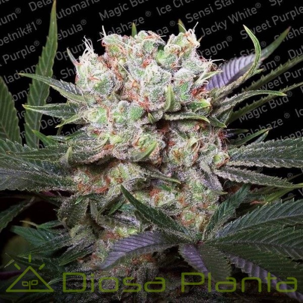 California Gold (Paradise Seeds)