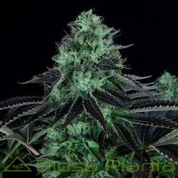 Darkstar Kush (TH Seeds)
