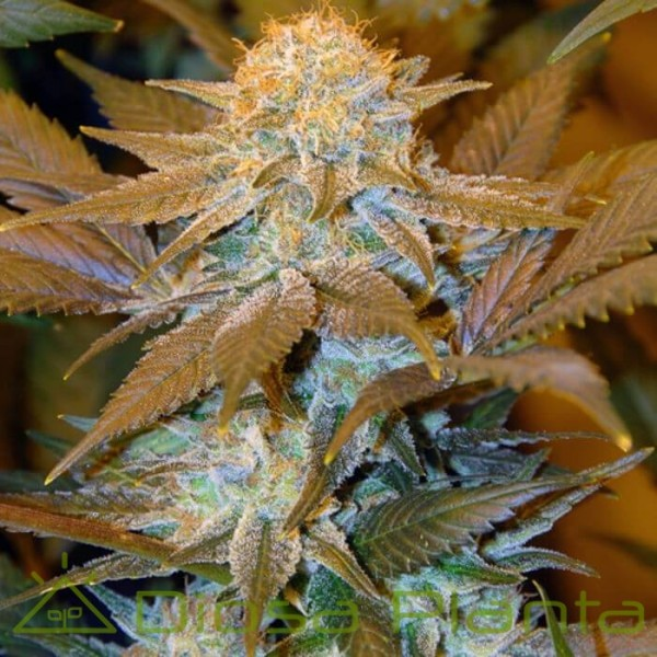 Critical Hog (TH Seeds)