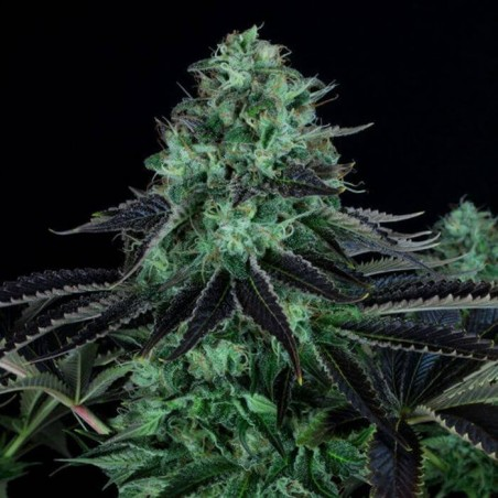 Darkstar Kush Regular (TH Seeds)