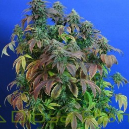 Heavy Duty Fruity Regular (TH Seeds)