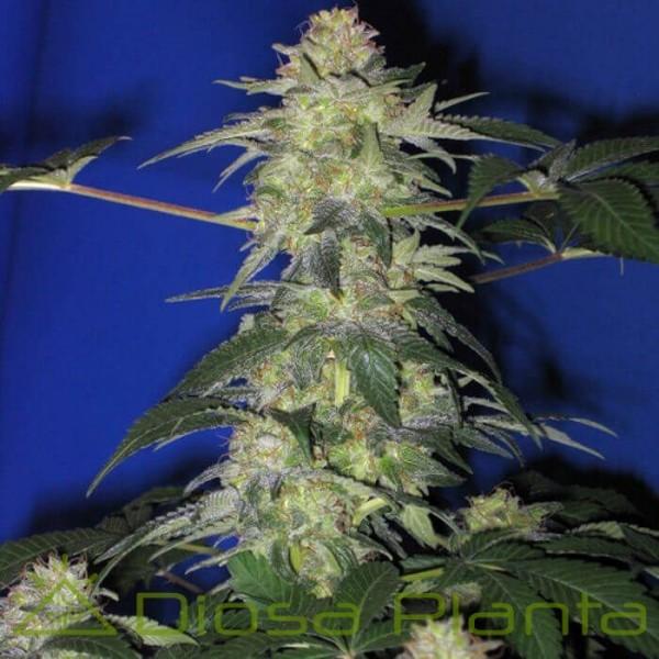 Mendocino Madness Regular (TH Seeds)