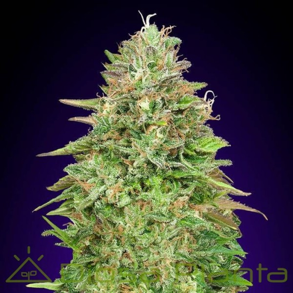 Critical Poison Fast Version (00 Seeds)