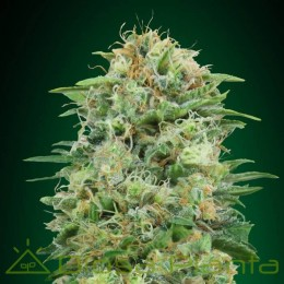 White Widow (00 Seeds)