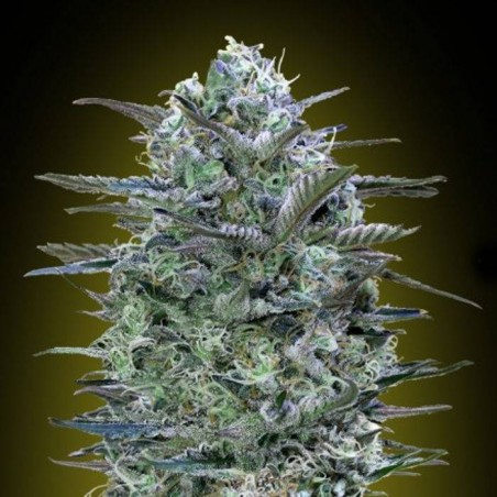 Critical Lemon (Advanced Seeds)