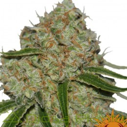 Phantom OG (Barney´s Farm)
