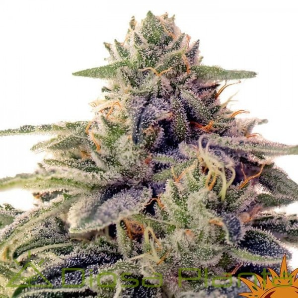 Shiskaberry (Barney´s Farm)