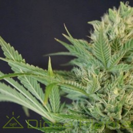 Chemodo Dragon (Colorado Seed Inc)