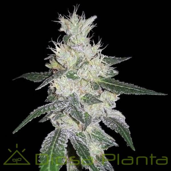 Bangi Congo x Panamá Feminizada  (Ace Seeds)