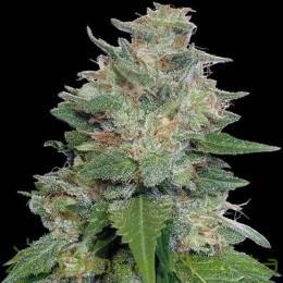 Bubba Kush x Kali China Feminizada (Ace Seeds)