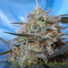 Congo x Kali China Feminizada (Ace Seeds)