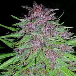 ErdPurt Feminizada (Ace Seeds)