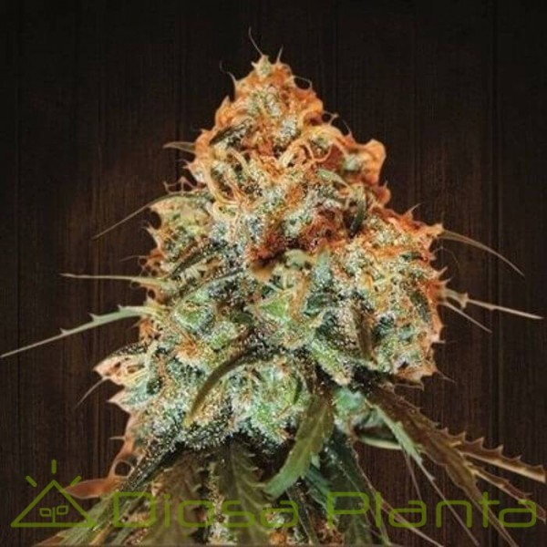 Golden Tiger Feminizada (Ace Seeds)