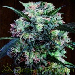 Kali China Pack Cría Feminizada (Ace Seeds)