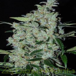 Purple Mexican Feminizada (Ace Seeds)