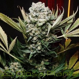 Cherry Queen Regular (Ace Seeds)