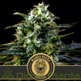 Mamba Negra (Blimburn Seeds)