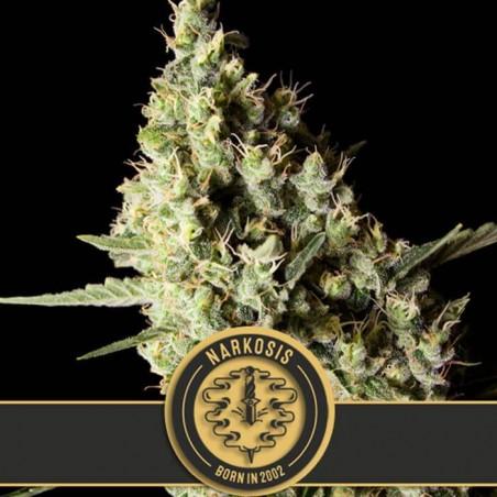 Narkosis (Blimburn Seeds)