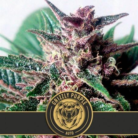 Grizzly Purple Auto (Blimburn Seeds)