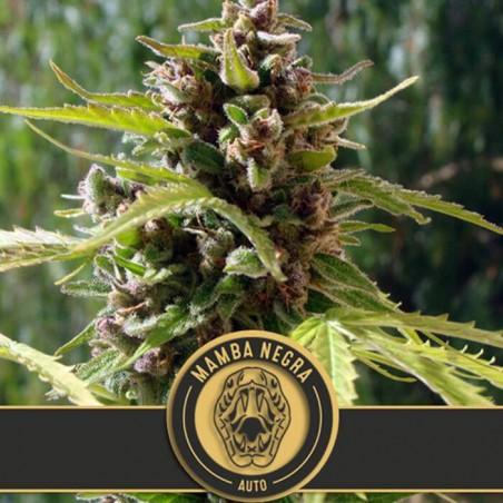Mamba Negra Auto (Blimburn Seeds)